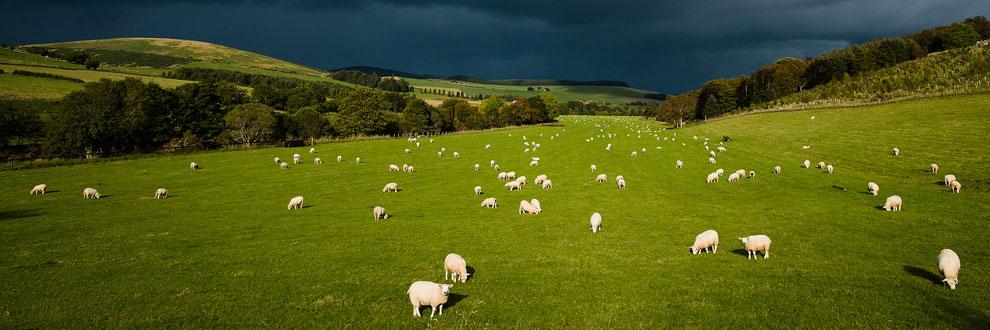 Sheep Farming at Aswanley